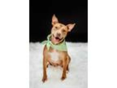 Adopt Radar a Brown/Chocolate Pit Bull Terrier / Mixed dog in Xenia