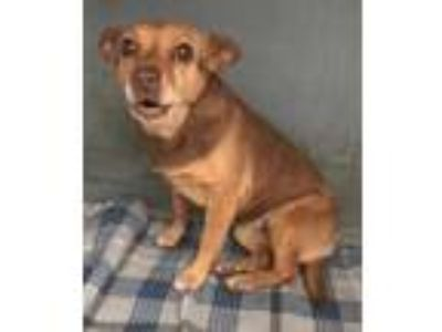 Adopt Buttercup a Brown/Chocolate Terrier (Unknown Type, Small) / Mixed dog in