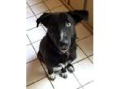 Adopt Sarah Too a Black - with White Husky / Labrador Retriever / Mixed dog in