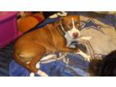 Adopt skye a Brown/Chocolate - with White American Pit Bull Terrier / American