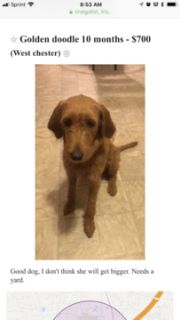 Goldendoodle PUPPY FOR SALE ADN-98641 - WILLOW