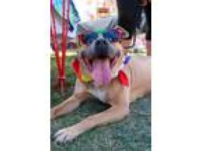 Adopt Lacey a Mountain Cur, Pit Bull Terrier