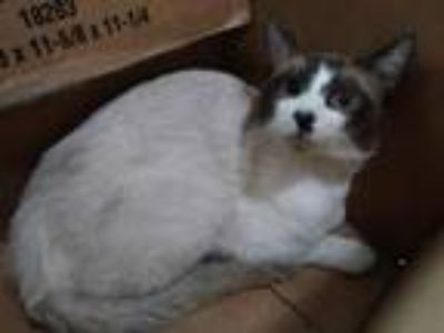 Adopt Calypso a Siamese, Domestic Short Hair