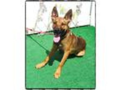 Adopt SCOUT a Tricolor (Tan/Brown & Black & White) German Shepherd Dog / Mixed