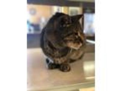 Adopt Alfred a Domestic Short Hair