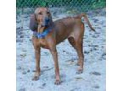 Adopt Clarabelle a Red/Golden/Orange/Chestnut Hound (Unknown Type) / Mixed dog