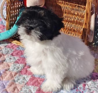 Havanese PUPPY FOR SALE ADN-51995 - Purebred Havanese Puppies Raised with Love