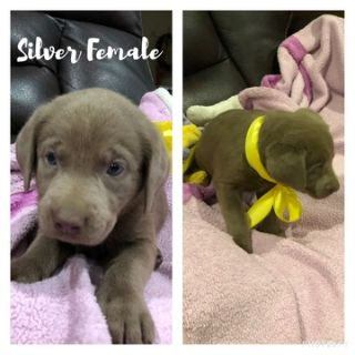 Labrador Retriever PUPPY FOR SALE ADN-97809 - AKC Silver Charcoal Labs