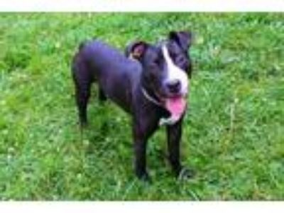 Adopt EDEN a Black - with White American Pit Bull Terrier / Mixed dog in