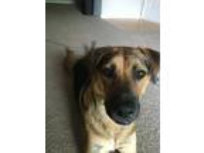 Adopt Quincy a Black - with Tan, Yellow or Fawn German Shepherd Dog / Labrador
