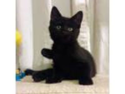 Adopt Peter a All Black Domestic Shorthair cat in Los Angeles, CA (25648424)