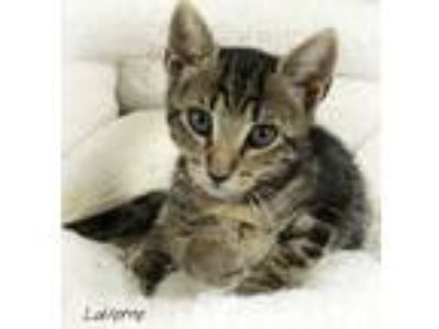 Adopt LAVERNE a Gray, Blue or Silver Tabby Domestic Shorthair (short coat) cat