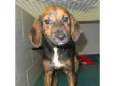 Adopt Amelia a Black - with Tan, Yellow or Fawn Hound (Unknown Type) / Mixed dog