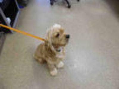 Adopt GEORGI a Tan/Yellow/Fawn Cocker Spaniel / Mixed dog in Fort Myers