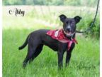 Adopt Abby a Labrador Retriever / Mixed dog in Stover, MO (25030496)