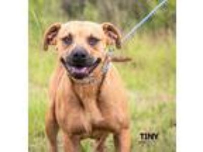 Adopt Tiny a Tan/Yellow/Fawn - with Black Labrador Retriever / Pit Bull Terrier