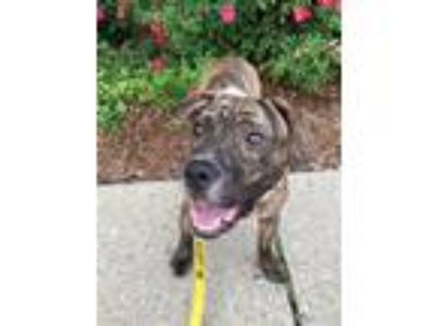 Adopt Penguin, Willow a Plott Hound, American Staffordshire Terrier