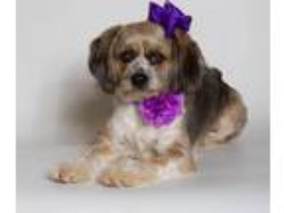 Adopt Millie a Tricolor (Tan/Brown & Black & White) Beagle / Shih Tzu / Mixed