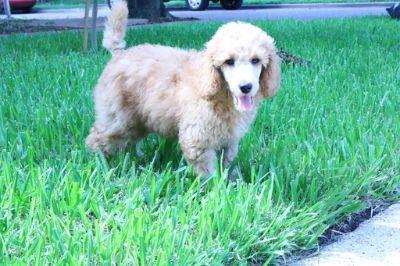 Poodle (Standard) PUPPY FOR SALE ADN-98463 - Moyen Poodle apricot male 10 weeks