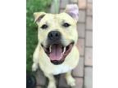 Adopt Wally West a Pit Bull Terrier
