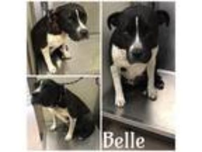 Adopt BELLE a Black - with White American Pit Bull Terrier / Mixed dog in Macon