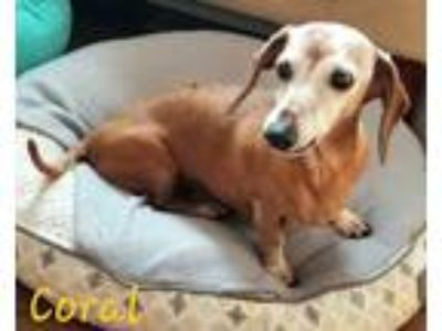 Adopt Coral a Red/Golden/Orange/Chestnut Dachshund / Mixed dog in Andalusia