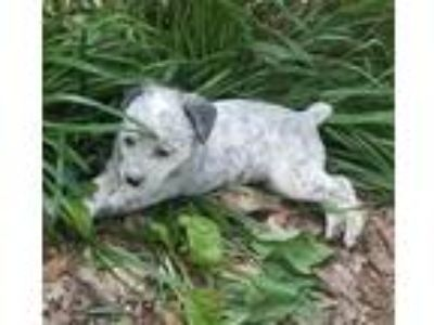 Adopt Heeler pup Male #1 a White - with Black Blue Heeler dog in Kennesaw