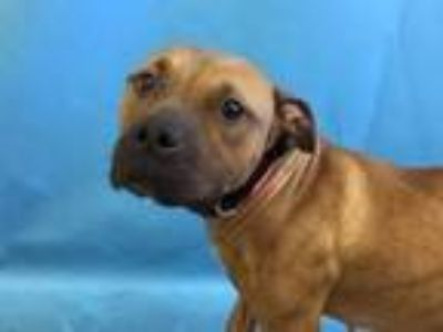 Adopt Winky a Pit Bull Terrier, Mixed Breed