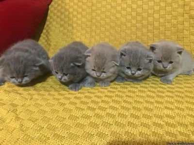 home raide scottish fold kittens for adoption