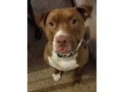 Adopt Torque a Red/Golden/Orange/Chestnut - with White American Staffordshire