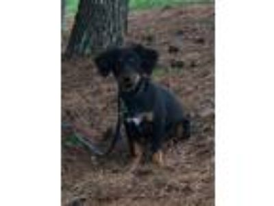 Adopt Buster a Black - with Tan, Yellow or Fawn Dachshund / Anatolian Shepherd /
