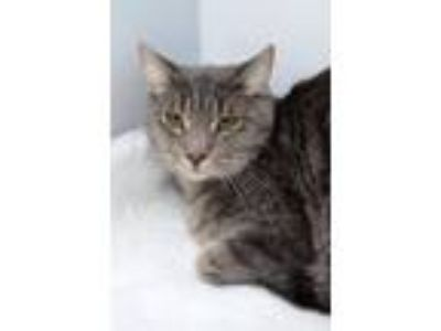 Adopt Stormy 2017 a Domestic Short Hair