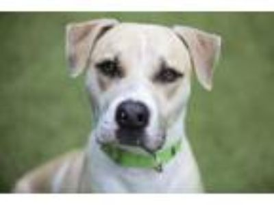 Adopt Bobby a Black Mouth Cur, Labrador Retriever