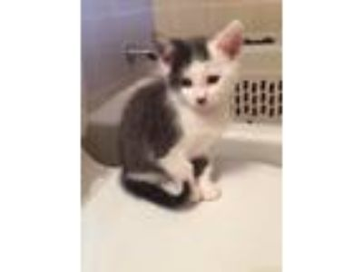 Adopt Olive a Gray, Blue or Silver Tabby Domestic Shorthair / Mixed cat in