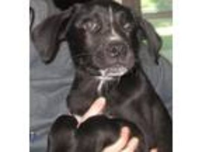 Adopt Kolby a Labrador Retriever, Mixed Breed