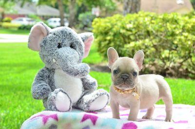 French Bulldog PUPPY FOR SALE ADN-86928 - Lilac Frenchie Female