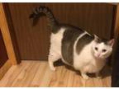 Adopt Mochi a Domestic Short Hair