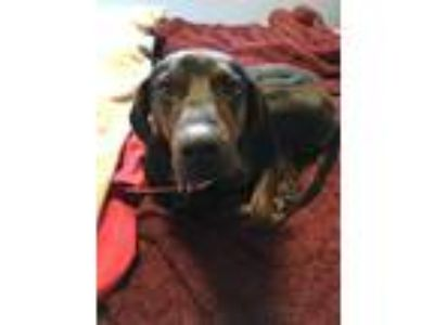 Adopt Timmy a Black - with Tan, Yellow or Fawn Plott Hound dog in Cherry Hill