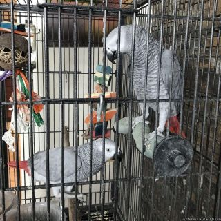African grey parrot (Female) for rehoming!