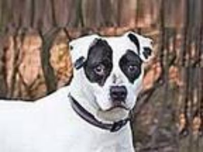 Adopt Tammy a Pit Bull Terrier