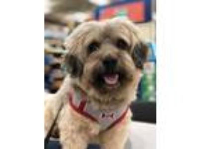 Adopt Wrigley - In Foster in Rocky Mount, NC a Poodle, Shih Tzu