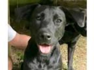 Adopt Diamond a Shepherd, Black Labrador Retriever