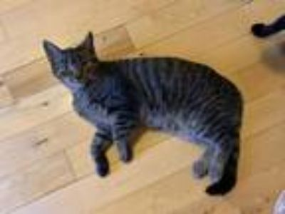 Adopt Billy a Brown Tabby American Shorthair / Mixed cat in Upper Marlboro