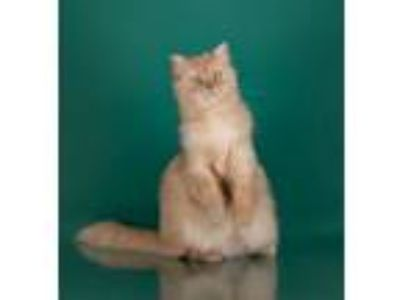 Adopt BEE GEE a Domestic Long Hair