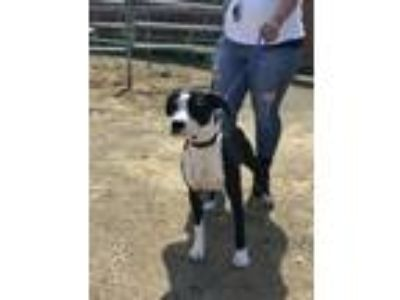 Adopt Sean a Black - with White Boxer / American Pit Bull Terrier dog in