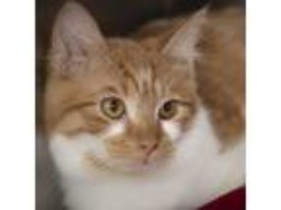 Adopt Cupcake a Orange or Red (Mostly) Domestic Shorthair / Mixed (short coat)