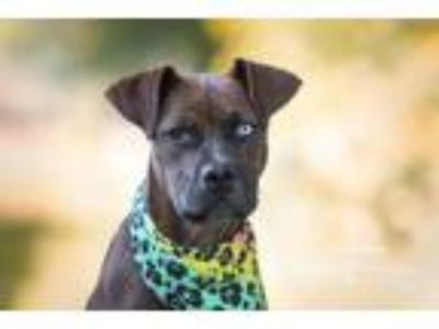 Adopt Kanga-Roo a Brown/Chocolate - with Black Boxer / Mixed dog in San Leon