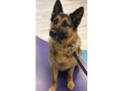 Adopt Lou a German Shepherd Dog