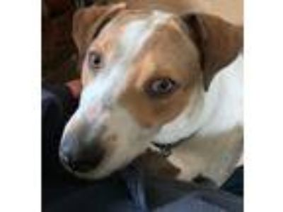 Adopt Tommie a Brown/Chocolate - with White Pointer / Hound (Unknown Type) /