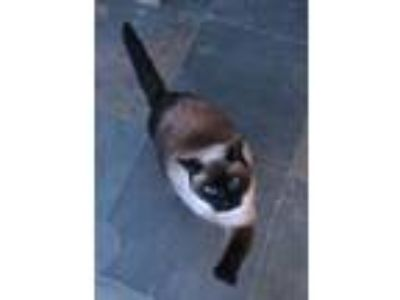 Adopt Lacey a Siamese